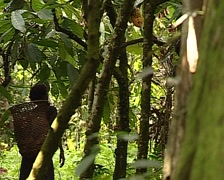 Pygmy tribe in Africa working harvesting cocoa. Cacao fruits on the tree - stock footage