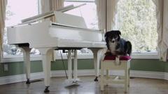 Australian Shepherd Sitting at Piano in Well Lit Room Stock Footage