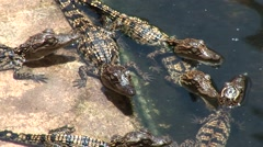Babies crocodiles are feeding in a zoo Stock Footage