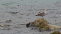 Beautiful seagull bird rest stone ocean water coast take flight couple valentine Stock Footage