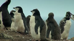 Chinstrap penguins colony. Ppenguin moulting Stock Footage