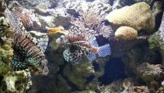 Aquarium two lion fish swimming 4k Stock Footage