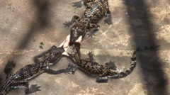 Babies crocodiles are feeding in a zoo Stock Footage