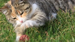 Stock Video Footage of domestic cute cat playing in the garden