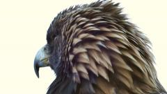 4K UHD - Golden Eagle (Aquila chrysaetos) turning its head around Stock Footage