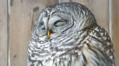 4K UHD - Barred Owl (Strix varia) slightly opening its eyes - stock footage