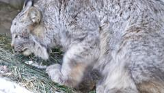 4K UHD - Canada Lynx (Lynx canadensis) laying down on the ground Stock Footage