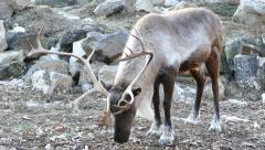 4K UHD - Woodland Caribou (Rangifer tarandus caribou) with larger antlers Stock Footage