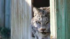 4K UHD - Canada Lynx (Lynx canadensis) closing its eyes shut Stock Footage