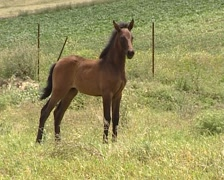 Pure Spanish Horse colt running across the field Stock Footage