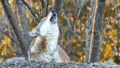 4K UHD - Gray Wolf (Canis lupus) closeup of head while howling Stock Footage
