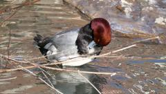 4K UHD - Redhead Duck (Aythya americana) grooming its feathers - stock footage