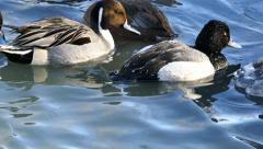 4K UHD - Water drops pearl off of ducks backs while swimming Stock Footage