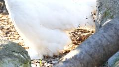 4K UHD - Snowy Owl (Bubo scandiacus) closeup of legs while walking - stock footage