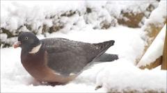 Wood pigeon, big, dove, feeding bird food in snow - stock footage