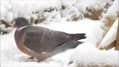 Wood pigeon, big, dove, feeding bird food in snow Stock Footage
