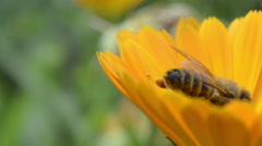 Bee on the yellow flower, close-up - stock footage