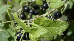 Black Currant berries grow in the garden Stock Footage