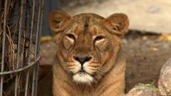 Eye contact with a young lioness in soft light close up Stock Footage
