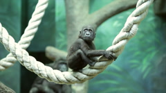 Stock Video Footage of Careless childhood of a gorilla baby, sitting on thick rope