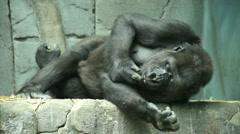 A gorilla female, lying on her side on stone background Stock Footage