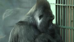 A gorilla male, severe silverback, sitting near grid Stock Footage