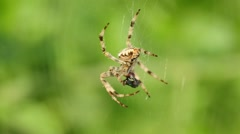 Garden spider Stock Footage