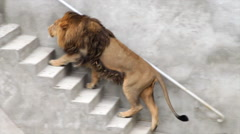 A shaggy Asian lion, side full-length view, going up the stairs. King of beasts Stock Footage