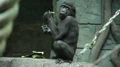 An uninhibited gorilla kid on stone wall background eating water-melon peel. Stock Footage