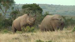 Two black rhino bulls sizing each other up Stock Footage