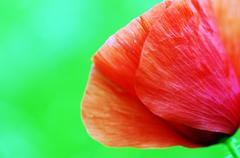 Stock Photo of Red poppies blooming in the wild meadow