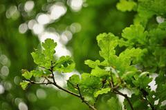 Green oak leaves seamless texture - stock photo