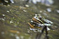 Common frog looking out of water Kuvituskuvat