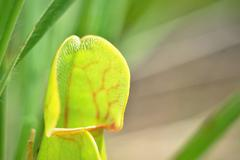 Sarracenia purpurea, protected carnivorous plant Stock Photos