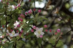 Apple tree blossom Stock Photos
