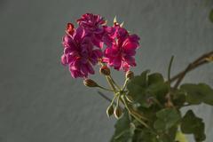 One rose pelargonium flower with leaves Stock Photos