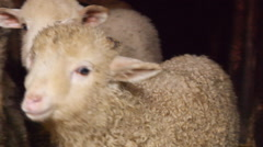 Lamb  in a Romanian farm - stock footage