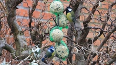 Birds on bird fat ball, tit, great tit Stock Footage