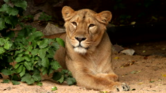 Grace of a lioness, calm lying behind the green bush on dark background Arkistovideo