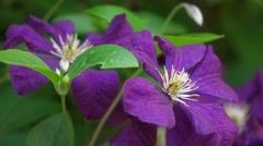 Close up of some Purple Clematis flowers in little breeze Stock Footage