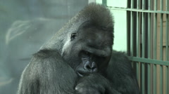 Picturesque gorilla male, sitting near grid and nursing his wounded wrist. Stock Footage
