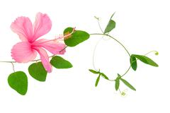 beautiful green twig of passionflower and pink hibiscus closeup is isolated o - stock photo