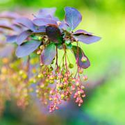 Beautiful blooming twig of european barberry ( ottawensis Superba ) on blur b Stock Photos
