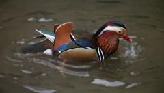 Mandarin ducks male, Aix galericulata, pecking water, bathing and fluttering. Stock Footage
