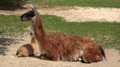 South American Camel at the zoo 4k Stock Footage
