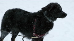 Dog Beautiful Black Mut Snowing Snow Blizzard Slow Motion 4K Stock Footage