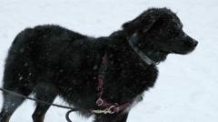 Dog Beautiful Black Mut Snowing Snow Blizzard Slow Motion 4K Stock Footage