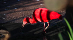 Exotic red bird Stock Footage