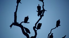 Vultures in tree 2 - stock footage