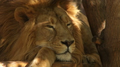 Stock Video Footage of Awakening of a lion close up, lying on wood platform on tree shadow background.